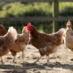 Veterinarians Play Critical Role in Backyard Poultry and Livestock Welfare, as well as Human Health